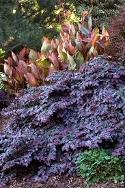 plants native to china sizzling pink fringe flower monrovia sizzling pink fringe flower
