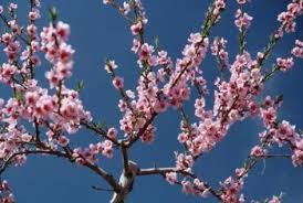 cherry blossom tree facts japanese cherry tree facts home guides sf gate