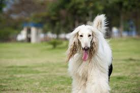 afghan hound group different breeds of shaggy dogs cuteness