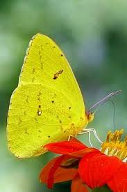 catchastarcreations yellow butterfly ideas for classes
