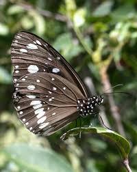 common butterfly australian museum