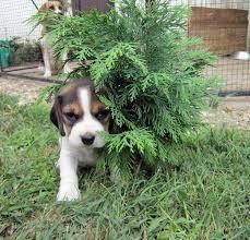384 best beagle is beagle images on beagles beagle