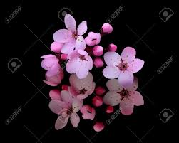 cherry blossoms on a black background royalty free cliparts