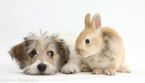 bichon frise cute pets cute bichon frise x jack russell puppy and bunny photo wp38484