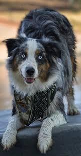 australian shepherd dog 17 best images about australian shepherds on