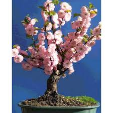 of china tree prunus triloba seeds tree of china flowering almond