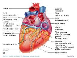 Sheep Heart Anatomy Quiz Zool 142 Lab