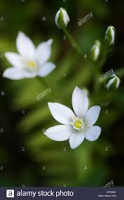 of bethlehem flower ornithogalum umbellatum common of bethlehem flower stock