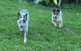 australian shepherd cattle dog mix marvellous mixes australian cattle dogs flickr