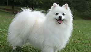 miniature american eskimo dog life expectancy american eskimo dog puppies can u0027t resist these cute puppies