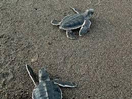 imagenes tortugas verdes tortuga verde una de las especies más emblemáticas de tortugas marinas