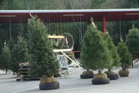 selection and care of living christmas trees nc state extension