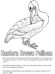 eastern brown pelican coloring