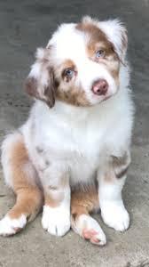 mini australian shepherd 7 weeks australian shepherd puppy for sale in lexington ky adn 33380 on