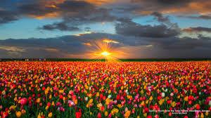 Tulip Field Pink Tulip Field Wallpaper Ibackgroundwallpaper Flower Tulip