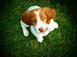 australian shepherd vs brittany brittany dog breed information pictures characteristics u0026 facts