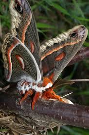 Moths In Kitchen Cabinets 202 Best Moths Images On Pinterest Butterflies Animals