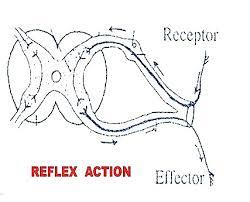Relex Arc Reflex Actions And Reflex Arc