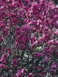 Most Fragrant Jasmine Plant - the 25 best jasmine bush ideas on pinterest gardenia care diy