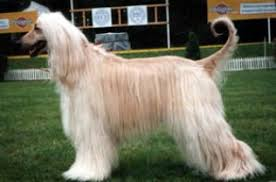afghan hound long haired dogs afghan hound dog breed info u0026 pictures afghan hound puppies