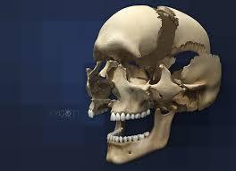 Human Anatomy Skull Bones Zygote 3d Articulating Human Skull Model