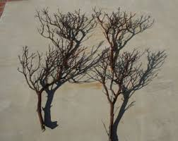 manzanita branches for sale manzanita etsy