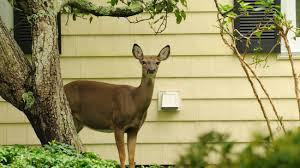 using birth control to manage deer in suburbia