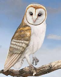 Barn Owl Sounds Barn Owl Whatbird Com