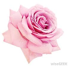 Meaning Of Pink Roses Flowers - do some flowers have meaning with pictures