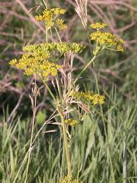 iowa native plants wild parsnip a weed to watch news