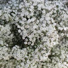 baby s breath flower bulk baby s breath flower
