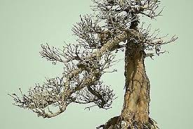 bonsai tree for sale plants gumtree australia brimbank area