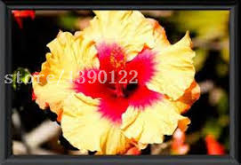 Cheap Flower Seeds - gift companies picture more detailed picture about 100 pcs giant