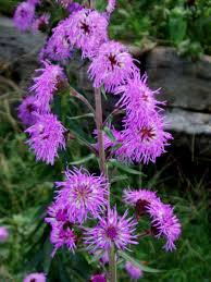 native plants missouri liatris scariosa eastern blazingstar seed u0026 plant