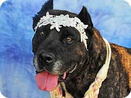 bluetick coonhound louisville ky louisville ky cane corso meet deidre a dog for adoption