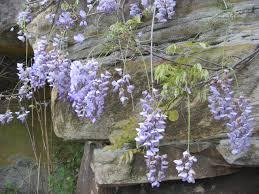 wisteria 紫藤 u2013 patrick siu chinese calligraphy u0026 landscape