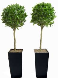 pair of 4ft bay laurel artificial topiary trees unpotted