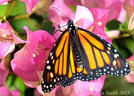 monarch butterfly sunflower smith designs
