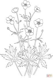 ranunculus acris or tall buttercup coloring page supercoloring