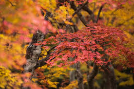 colorful autumn leaves koyo japan fall season 2017 kyuhoshi