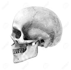 human skull side view pencil drawing style this is a 3d
