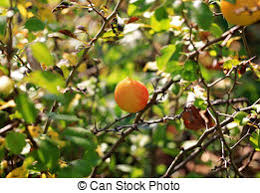 stock images of japonica quince fruit up of the fruit of a