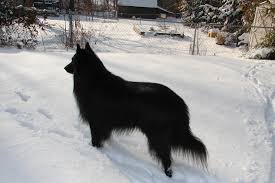 belgian sheepdog national specialty only his spirit remains slipcheck belgian sheepdogs