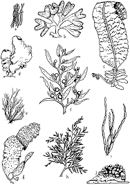 drawn seaweed ocean algae pencil and in color drawn seaweed