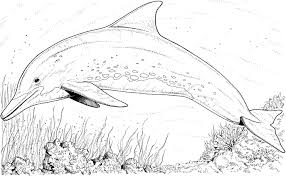 realistic dolphin coloring pages coloringstar