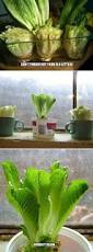 top 10 foods you can regrow from kitchen scraps scrap celery