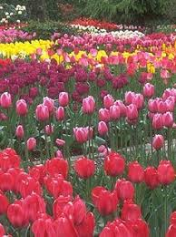 click here for your free flower bulb catalog from tulips com for