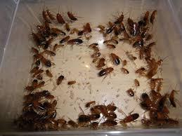 fourmis cuisine blatte de cuisine nouveau blatte shelfordella tartara colonie