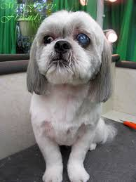 pictures of shih tzu haircuts pet grooming the good the bad the furry shih tzu day