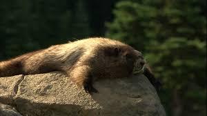 Washington wild animals images Marmot mount rainier national park usa hd stock video 776 jpg